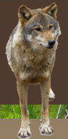 Wolf at Tall Pines - We carry hunting supplies, fishing supplies, ORV licenses, ORV supplies, hunting, fishing, hunting resort, fishing resort